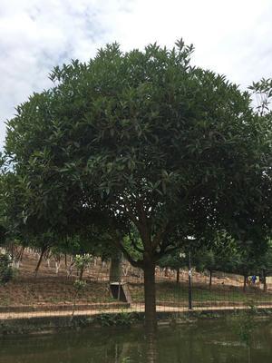 这是一张关于黄金桂花树的产品图片