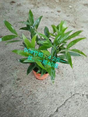 广东广州荔湾区竹柏盆栽