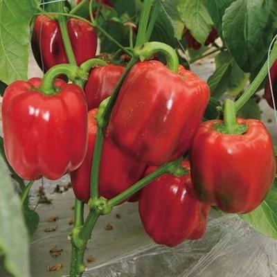 这是一张关于五彩椒 10~15cm 甜辣的产品图片