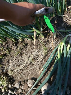 这是一张关于铁杆大葱 1cm左右 25~30cm 毛葱的产品图片