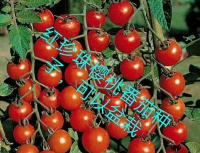 广东广州荔湾区樱桃番茄种子 95% 原种(亲本)