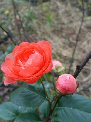 四川雅安名山区玫瑰海棠
