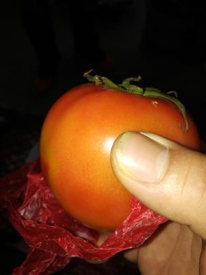 这是一张关于旱地西红柿 打冷 大红 通货的产品图片