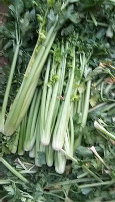 山东省德州市禹城市美国西芹 60cm以上 大棚种植 0.5~1.0斤