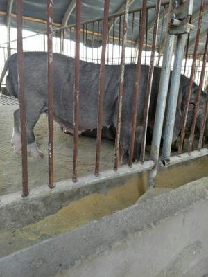 江苏宿迁沭阳县太湖母猪作种 60斤以上