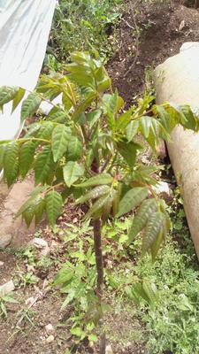 湖北武汉东西湖区红油香椿苗 2~4公分