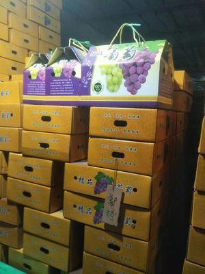 河北石家庄晋州市巨峰葡萄 5%以下 1次果 1-1.5斤