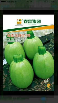 云南昆明嵩明县西葫芦种子