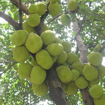 浙江温州瑞安市泰国菠萝蜜 10-15斤