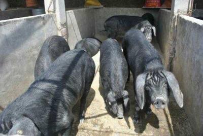 安徽六安金寨县金寨土黑毛猪肉 140斤以上