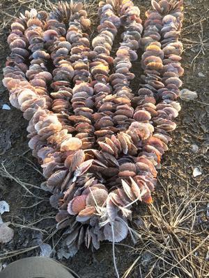 辽宁大连金州区培育海蛎扇贝串 人工殖养 0.1-0.9只/公斤
