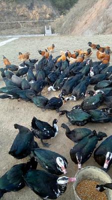 这是一张关于胡鸭 统货 7-8斤的产品图片