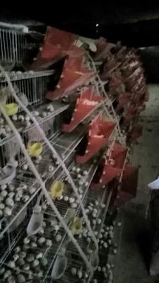 四川凉山普格县黄羽鹌鹑蛋 食用 散装