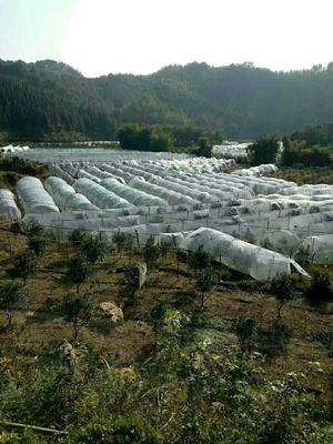 广西柳州融安县滑皮金桔 2-3cm 1两以下