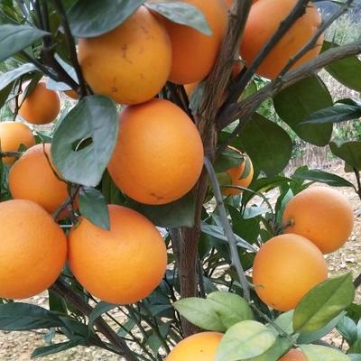 这是一张关于桂橙一号 60 - 65mm 2.0两的产品图片