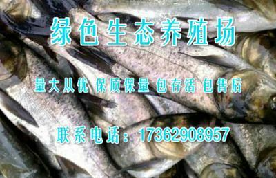 河南许昌长葛市软骨鲫鱼 人工养殖 0.1公斤
