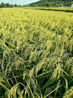 这是一张关于东北大米 非有机大米 晚稻 二等品的产品图片