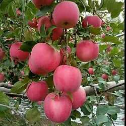 甘肃平凉静宁县红富士苹果 纸袋 片红 65mm以上