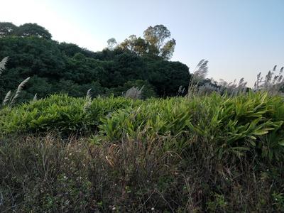 这是一张关于南姜 带土 3两以上的产品图片