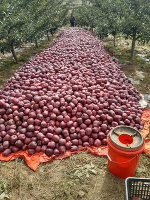 甘肃天水麦积区花牛苹果 光果 片红 75mm以上