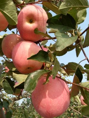 辽宁葫芦岛绥中县红富士苹果 纸袋 片红 80mm以上