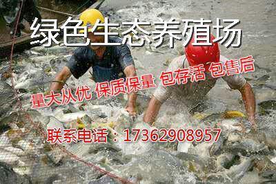 河南平顶山宝丰县花白鲢 人工养殖 0.5-2.5公斤