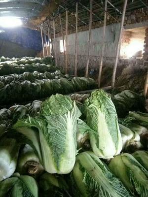 内蒙古自治区通辽市开鲁县91-12白菜 3~6斤 二毛菜