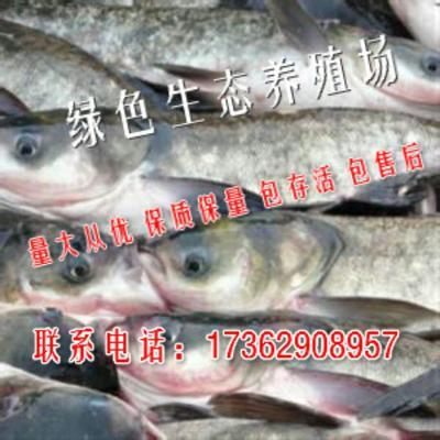 河南南阳新野县花白鲢 人工养殖 0.5-2.5公斤