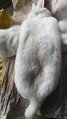 山西临汾洪洞县冷鲜兔肉 2-3个月 新鲜