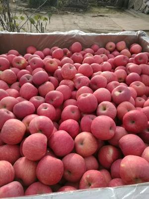 陕西渭南白水县红富士苹果 纸袋 全红 70mm以上