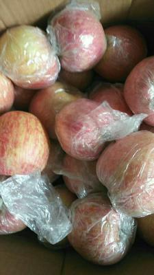 山东临沂沂水县红富士苹果 纸+膜袋 条红 75mm以上