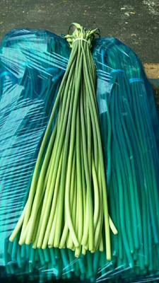这是一张关于金乡红帽蒜苔 一茬 30cm以下 通货的产品图片