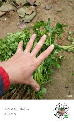 山东聊城东昌府区大叶香菜 20~25cm