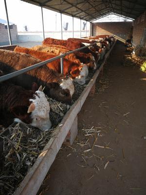 这是一张关于肉牛 200-300斤 统货的产品图片