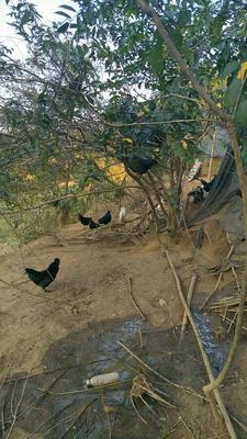 广西壮族自治区南宁市西乡塘区东兰三乌鸡 2-3斤