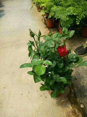 广东广州荔湾区红玫瑰