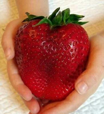 广东广州荔湾区草莓种子