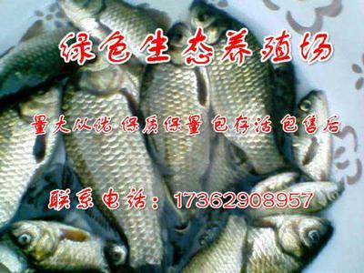 河南新乡延津县软骨鲫鱼 人工养殖 0.1公斤