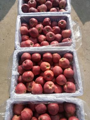 陕西宝鸡渭滨区花牛苹果 光果 全红 70mm以上