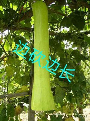 广东广州荔湾区砍瓜种子