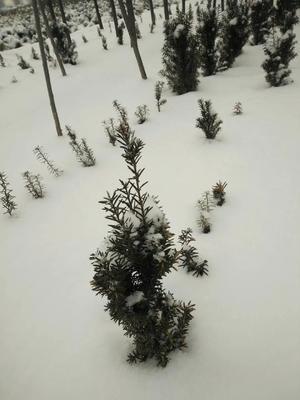 河南焦作修武县曼地亚红豆杉 0.5米以下