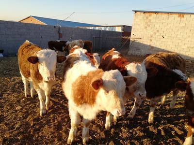 这是一张关于肉牛 400-600斤 统货的产品图片