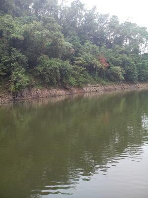 广西南宁西乡塘区大红三角梅 0.5~1.0米