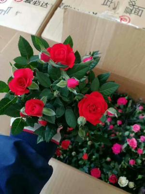 这是一张关于钻石玫瑰的产品图片