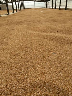 安徽宿州埇桥区玉米干粮 霉变≤1% 净货