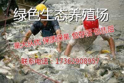 河南安阳林州市东北鲫 人工养殖 0.1公斤