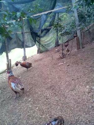 这是一张关于地产山鸡 2-3斤的产品图片