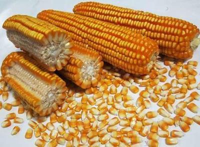 河南开封开封鹏玉1号玉米粒 霉变≤1% 净货