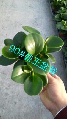 广东广州荔湾区碧玉盆栽