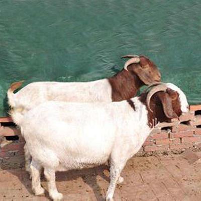 这是一张关于东山羊 50-80斤的产品图片